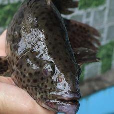 Cá Mú Sống