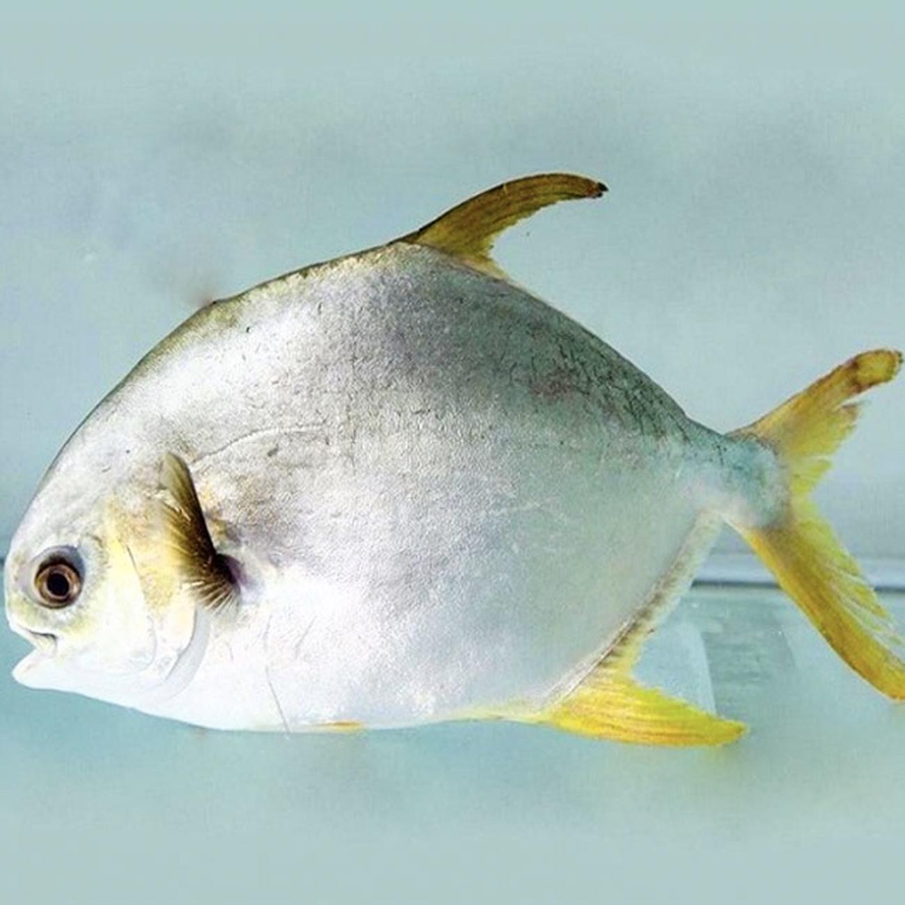 Cá-Chim-Trắng Thiên Nhiên
