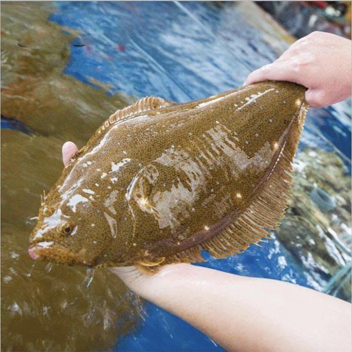 Cá Bơn Hàn Quốc 3